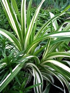 Изображение Hemerocallis variegatа