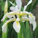 Изображение категории Спуриа гибридные - (SPU)