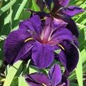 Изображение категории Ирис луизианский - (I. lousiana)