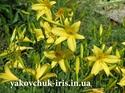 Изображение Hemerocallis citrine