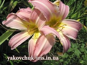 Изображение Orhid Corsage